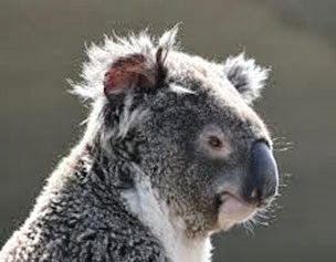 Amazing Pictures of Animals, Photo, Nature, Incredibel, Funny, Zoo, Koala, Phascolarctos cinereus, Alex (11)