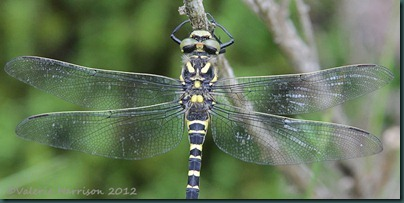 51-Golden-ringed-Dragonfly
