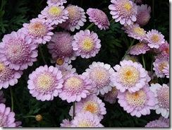 smeaton flowers