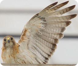 eaglewaving