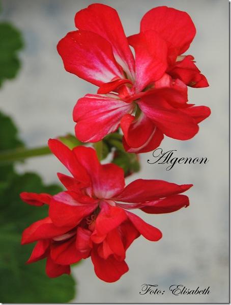 Pelargonium 16 juni -14 013