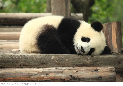 'Panda' photo (c) 2011, George Lu - license: http://creativecommons.org/licenses/by/2.0/