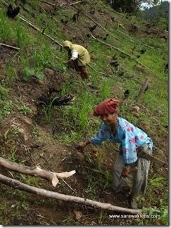 hill_paddy_planting_sarawak_padi_bukit
