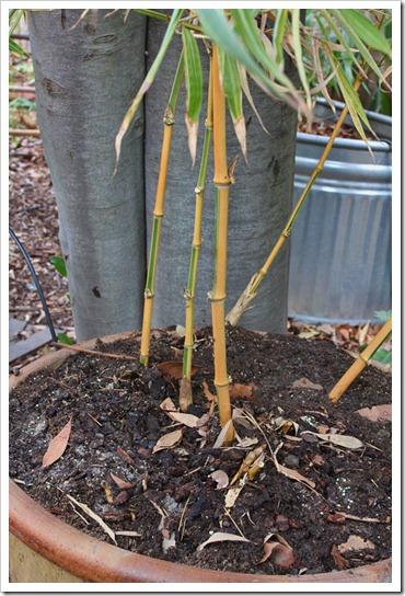 120218_Phyllostachys-bambusoides-Castillon_11