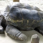 Singapore Zoo's Giant Aldabra Tortoise is in the Reptile Garden.