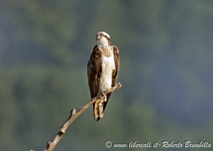 4_Falco pescatore_Pian di Spagna