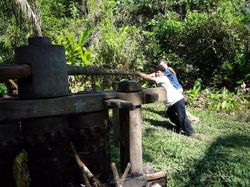 Squeezing sugarcane