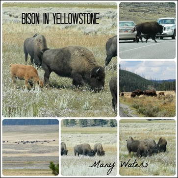 Many Waters Bison in Yellowstone