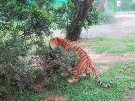 Tiger Munching Grass
