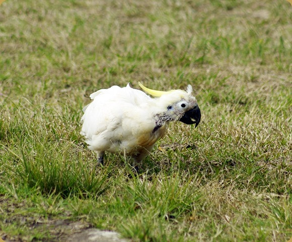 Sorriest looking Sulphur Crested Cockatoo EVER!!!!