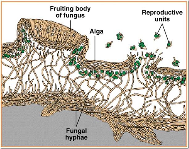 lichenes struktur