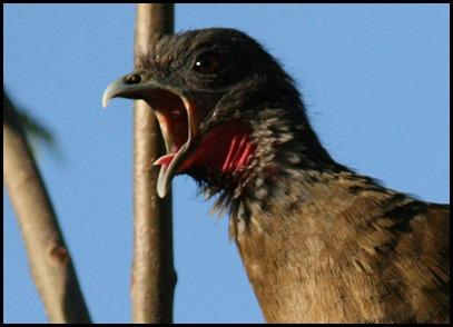 Louder Bird