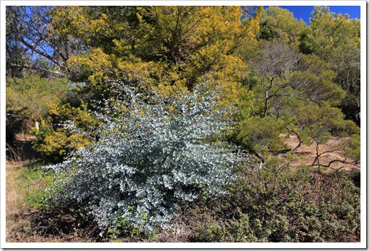 121027_UCSCArboretum_Acacia-podalyriifolia_01