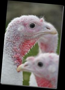 Turkey close-up DSC_0384