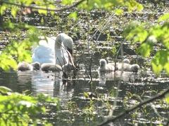 baby swans1