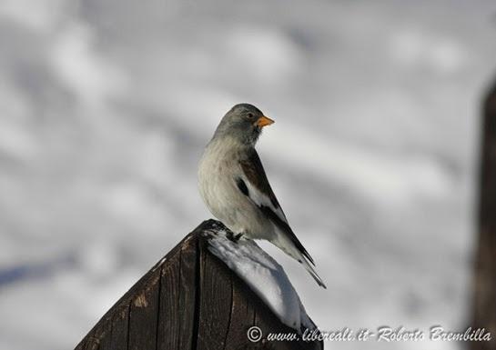 11_Fringuello alpino (23)