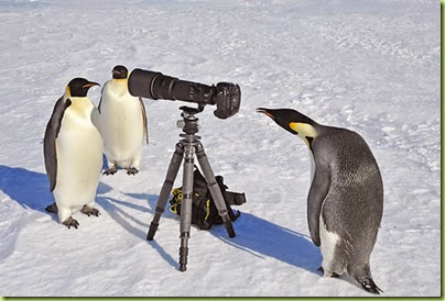 Emperor Penguins with Camera1328396672