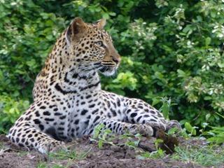 Big 5 Leopard