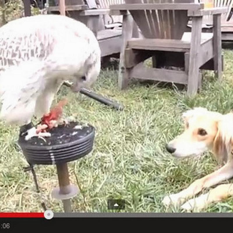 Γεράκι ταΐζει ένα σκύλο