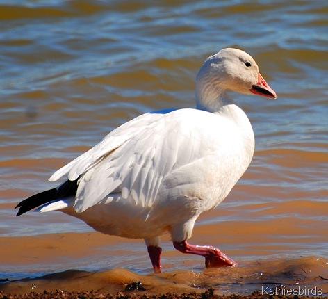 9. snow goose-kab