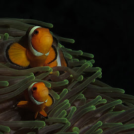 Nemo by Steve Branson - Animals Fish ( false clown fish, nemo )