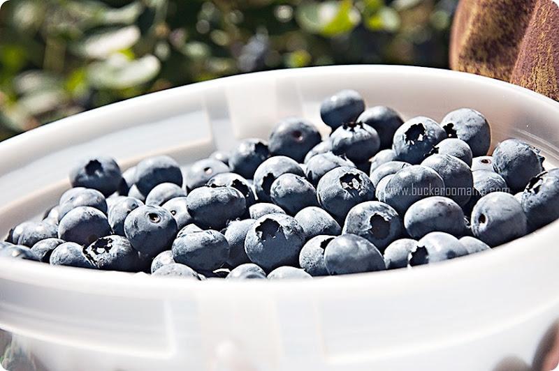 Bucket-of-blueberries-(1)