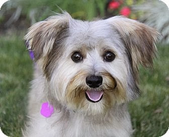 Morkie dog (or Maltie) . . . mix between a Maltese and a Yorkie
