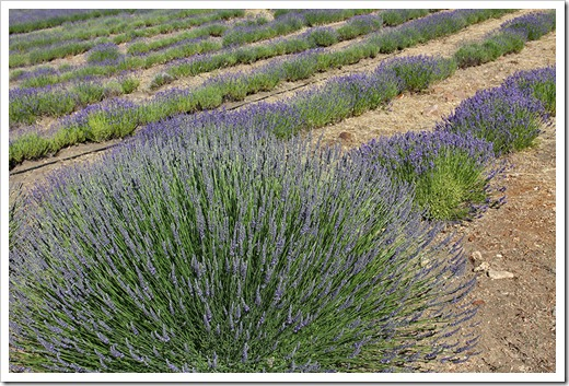 110710_Mt_Shasta_Lavender_Farm_42
