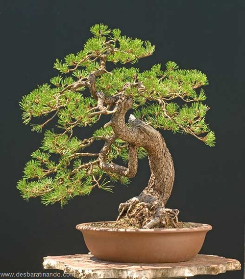 bonsais arvores em miniatura desbaratinando (71)