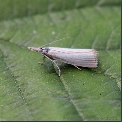 Agriphila-Straminella