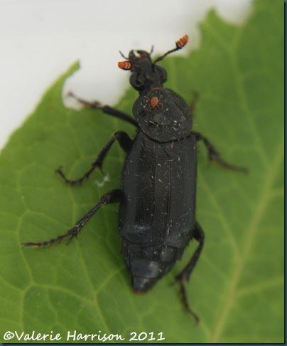 beetle-nicrophorus-humator