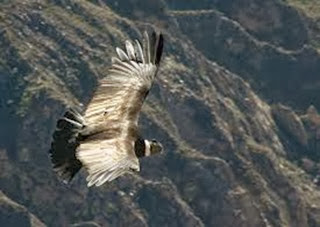 Amazing Pictures of Animals, Photo, Nature, Incredibel, Funny, Zoo, Andean Condor, Vultur gryphus, bird, Alex (11)