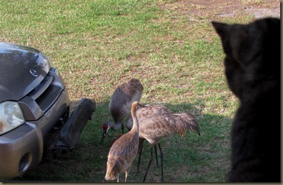 Little Noogie watching the Florida Sandhill Cranes