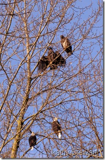 Eagles in a tree