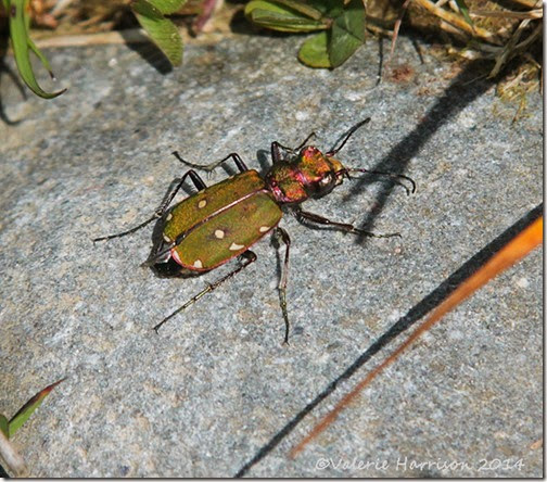 17-green-tiger-beetle
