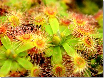 Drosera pulchella Carnivorous Plant Wp TW2010