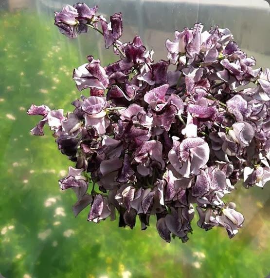 sweet peas 1005085_356632191131644_1658503555_n nimbus floret flower farm