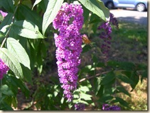 buddleia and friend