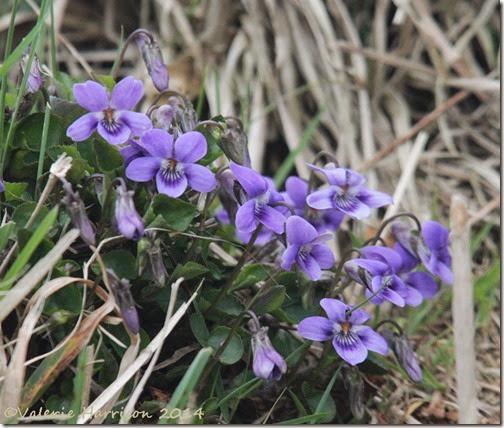 13-dog-violets