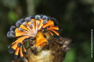 Royal flycatcher Onychorhynchus coronatus by Giulia Masoero