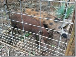 hogs 005