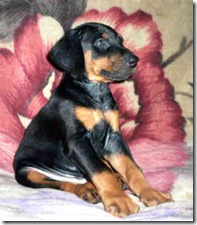 Doberman_puppy