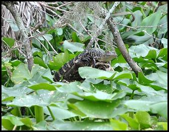 08 - Animals - Alligator 2b - baby