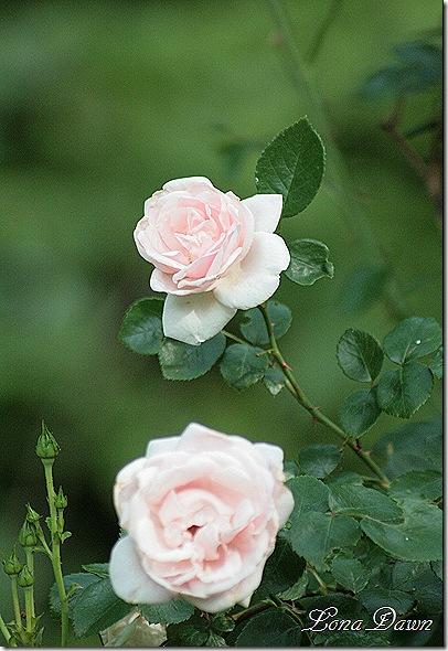 Rose_NewDawn