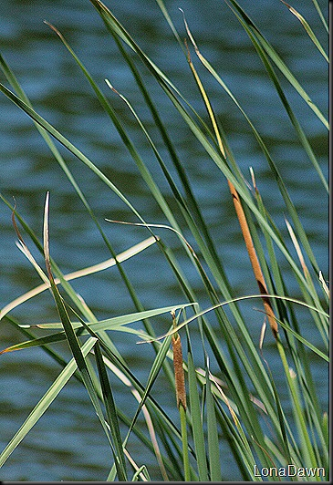 Cattails_Growing