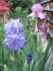 Iris blooms 5.2012