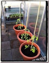 3tomatoesplanted