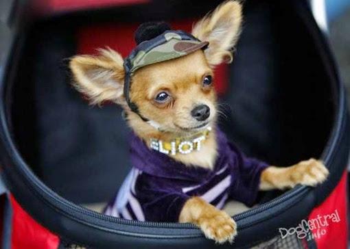 Мелкая собака в кепке