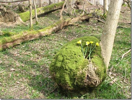20130407 BHW burr & daffodils