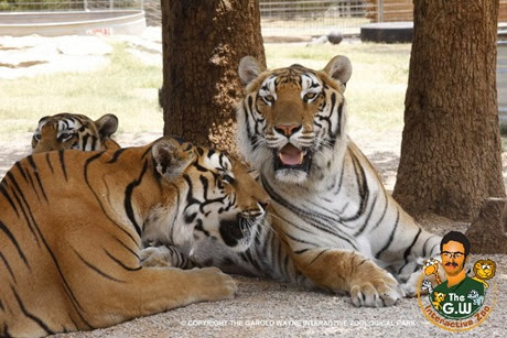 GWZoo-Animal-Gallery-Tiger_28